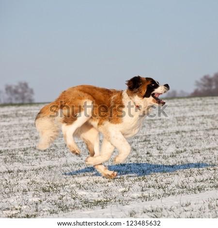 Saint bernard running
