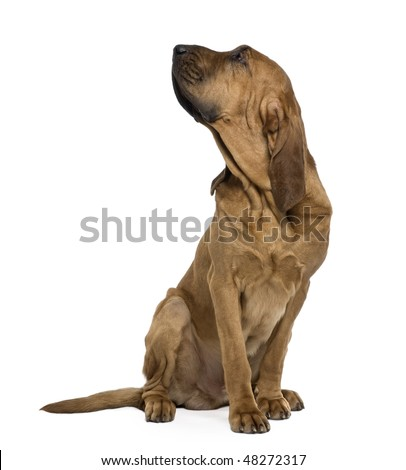 Saint-Hubert dog, 1 year old, sitting in front of white background - stock photo