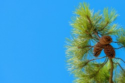 Saint-Palais-sur-Mer, Charente-Maritime / France: A pine tree branch with three pine cones against the blue sky by the Plage du Bureau in the town centre.