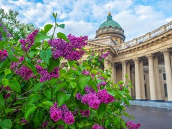 Saint Petersburg. Russia. Kazan Cathedral. Lilac in the center of St. Petersburg. Kazan Cathedral on a sunny day. Temple on Nevsky Prospect. Guide to St. Petersburg. Sights of Russia. Museums