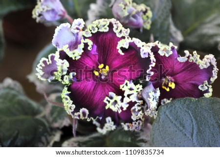 Saintpaulia (African violets) flower in the pot close up.  #1109835734