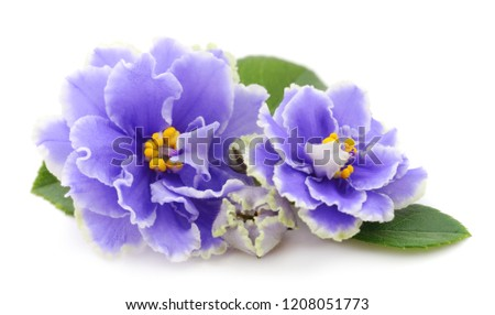 Saintpaulia (African violets) isolated on white background. #1208051773