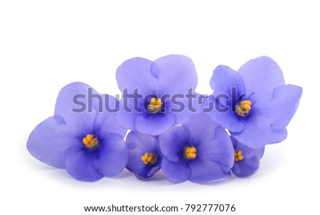 Saintpaulia (African violets) isolated on white background #792777076