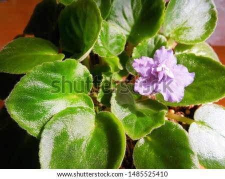 Saintpaulia, commonly known as African violet. Typically the African violet is a common household indoor plant but can also be an outdoor plant. #1485525410
