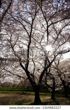 saitama japan sakura season  #1364883227