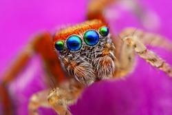 Saitis barbipes jumping spider from Spain