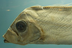 Sakegashira ribbon fish in fish tank.