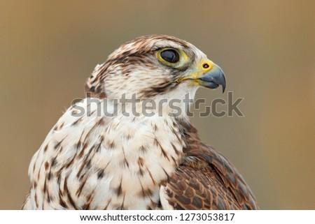 Safety Stock - Saker falcon, Falco cherrug, detail portrait of bird