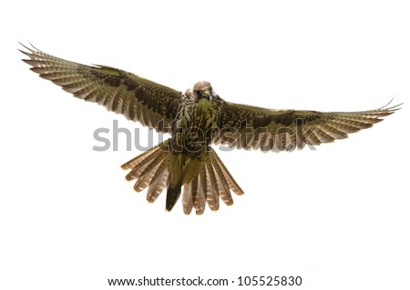 Saker Falcon in flight on white background