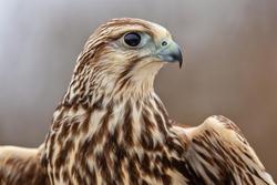 saker falcon portrait, majestic saker falcon, beautiful falcon close up