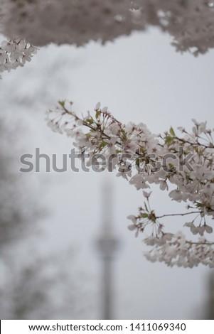 Sakura blooming in Toronto Ontario #1411069340