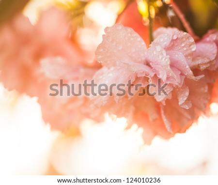 Sakura blooming on sunset after rain, closeup flowers
