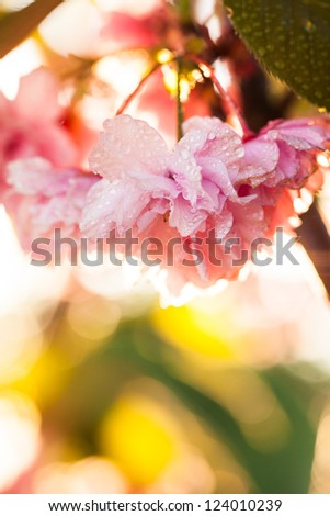 Sakura blooming on sunset after rain, closeup flowers