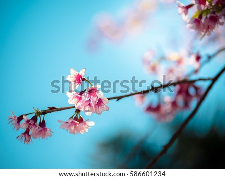 Shutterstock Sakura blooming on treetop on blue sky background photo shot at Chiang Main Thailand in winter use for background and travel magazine
