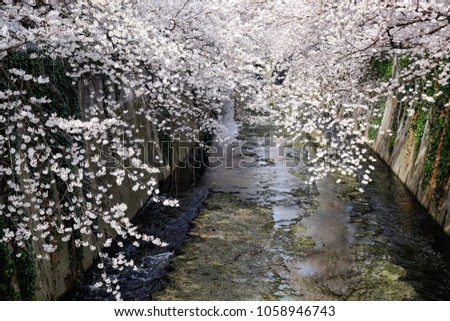 Sakura blossom blooming along Kanda River area near Edogawabashi Station is one of the best cherry blossom sites in Tokyo.