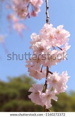 Sakura Blossom Branch #1160272372