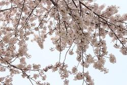 Sakura Blossom flower winterseason in korea