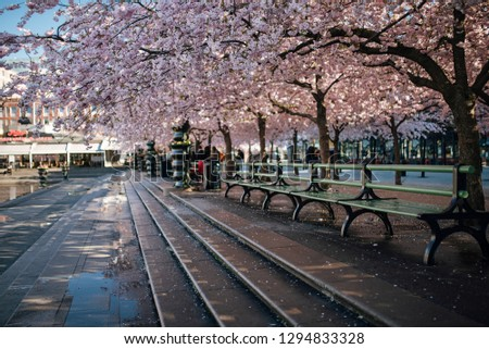 Sakura blossom in Stockholm. The public park Kungstradgarden with beautiful blooming cherry tree avenue.
