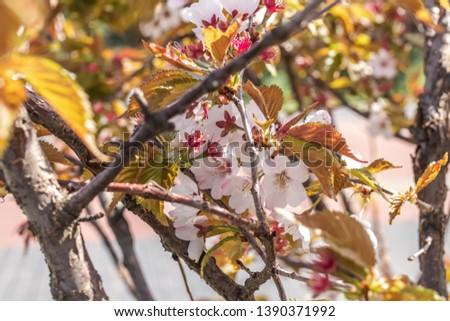 Sakura blossom. Sakura background. Spring sakura.