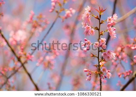 Sakura Blossom, Sakura Flower, nature background, Pink Flower, Pink Blossom, Vintage, Pastel toned, Sakura Cherry Blossom, Sakura branch in springtime,selective focus, selective focus #1086330521