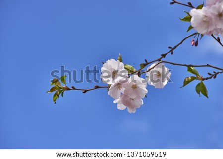 Sakura blossom. Sakura with flowers against of blue sky.