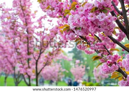 Sakura blossoms. Spring blooming Branch with pink sakura blossoms.
