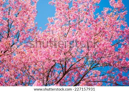 sakura blossum