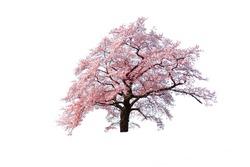 Sakura (Cherry blossom) blooming isolated on white background.