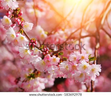 Sakura. Cherry Blossom in Springtime, Beautiful Pink Flowers