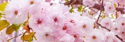 Sakura Cherry blossom. Pink flowers of cherry tree, banner