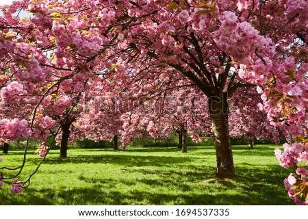 Sakura Cherry blossoming trees. Wonderful scenic park with blooming cherry sakura trees and green lawn in spring, France. Pink flowers of cherry tree. Parc de Sceaux cherry blossom 2020