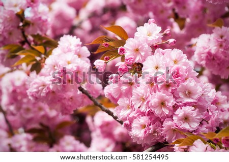Sakura. Cherry blossoms japan. Pink spring blossom background.