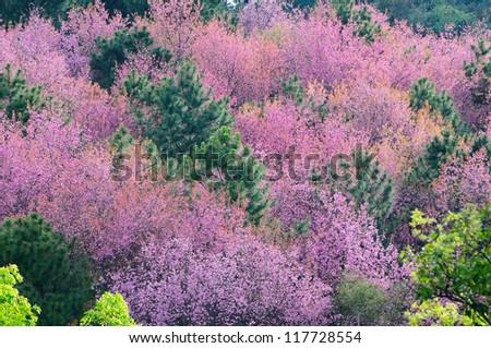 Sakura flower blooming in garden, ChiangMai Thailand