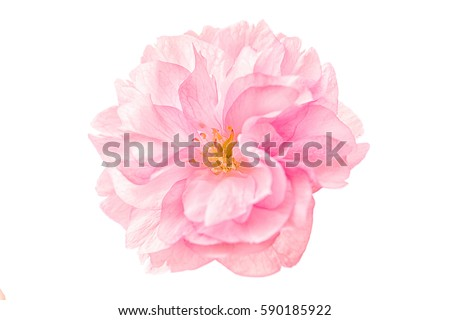 Photo of Sakura flower cherry blossom isolated on white background. Shallow depth. Soft toned