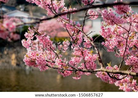 sakura flower, flower, sakura , japan