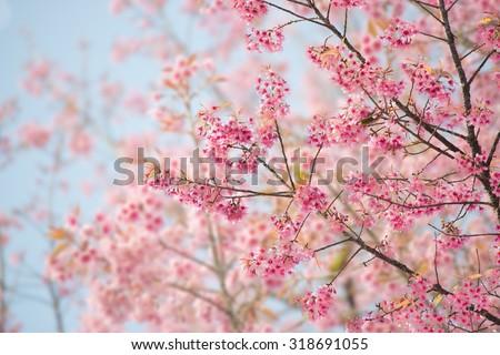 stock photo sakura flower or cherry blossom with beautiful nature background 318691055 - Каталог — Фотообои «Природа, пейзаж»