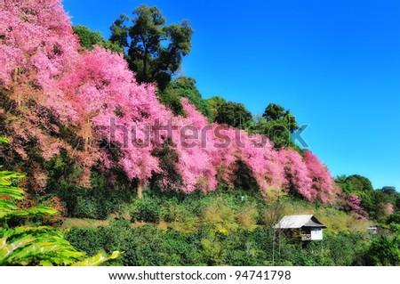 Sakura flowers and hut