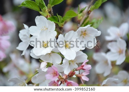 Sakura flowers background. cherry blossom background #399852160