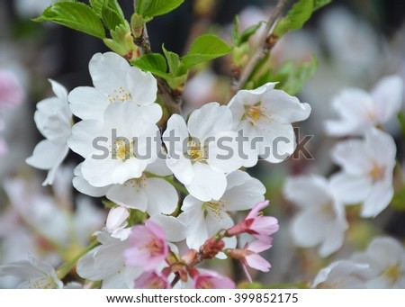 Sakura flowers background. cherry blossom background #399852175