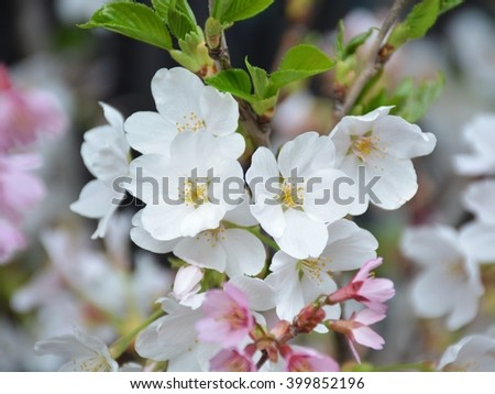 Sakura flowers background. cherry blossom background #399852196