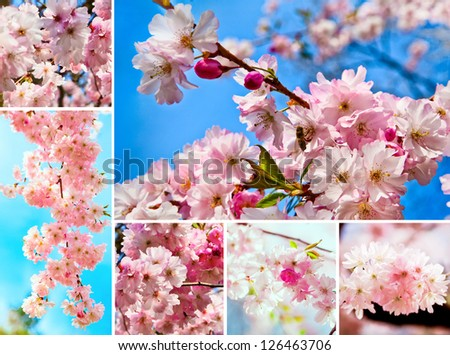 Sakura flowers blooming.  Beautiful flowering Japanese cherry. Spring cherry blossoms