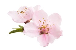 sakura flowers isolated on white background