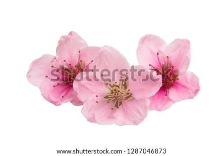 sakura flowers isolated on white background #1287046873