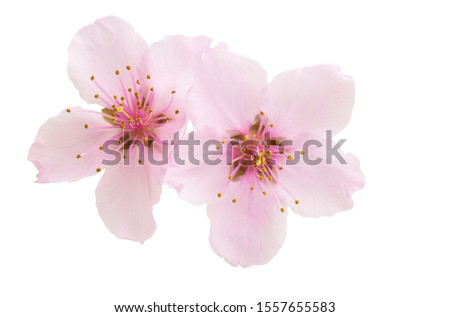 Sakura flowers isolated on white background Сток-фото ©