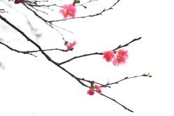 Sakura japanese cherry blossoms