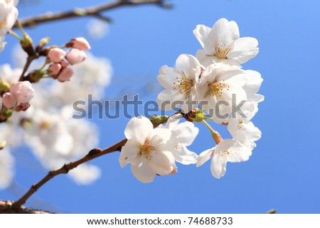 sakura;Japanese (flowering) cherry