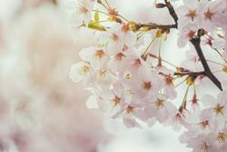 Sakura or cherry blossom flower full bloom in blue sky  spring season. Vintage filte.