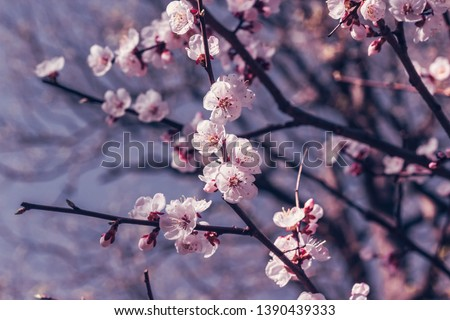 Sakura or cherry blossom flower full bloom in spring season #1390439333