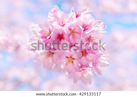 Sakura Or Cherry Blossom Symbolic Flower Of Spring In Japan Ez Canvas