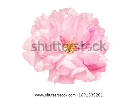 Sakura pink flower cherry blossom isolated on white background. Shallow depth. Soft pastel toned. Floral springtime. Copy space.